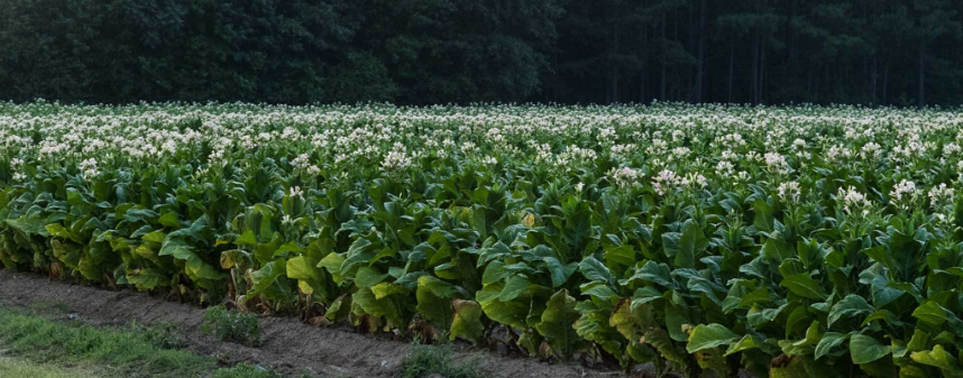 Tobacco Field, Moore County, NC